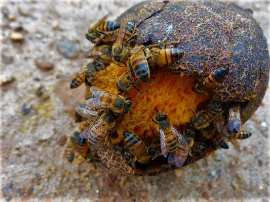 Bienen verspeisen eine Mango