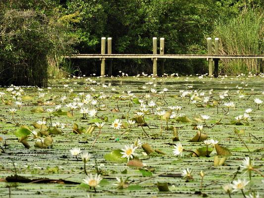 Lotusblüten am Ufer....