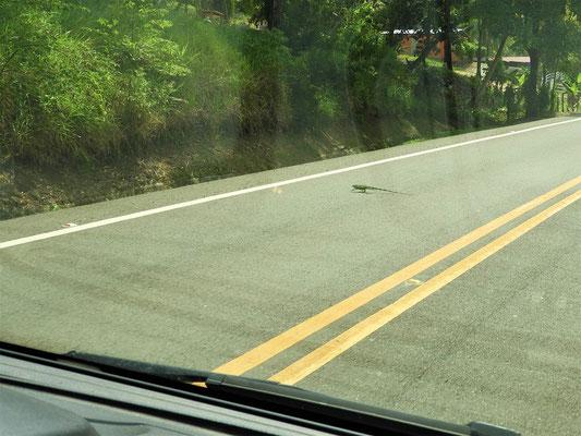 Ab und zu rennt ein Leguan über die Strasse
