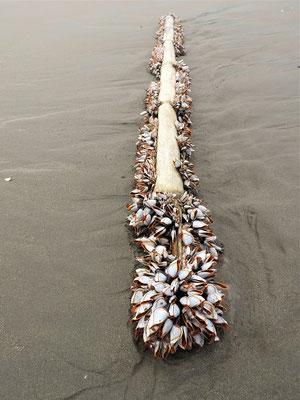 Muscheln auf einem Stück Treibholz