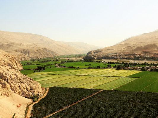 Reisfelder und Pisco-Trauben mitten in der Wüste