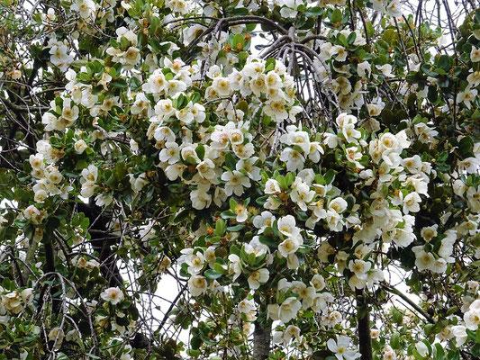 ....trägt im Sommer eine üpig weisse Blütenpracht