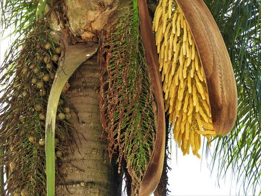 Palme mit den drei Blüte-Phasen