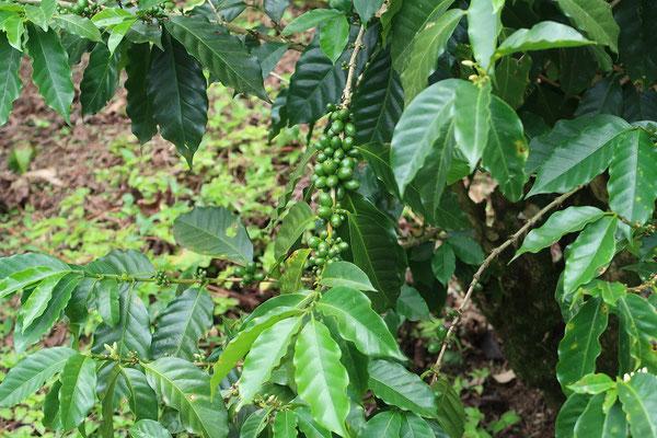 Wir fahren durch Kaffeeanbaugebiet....