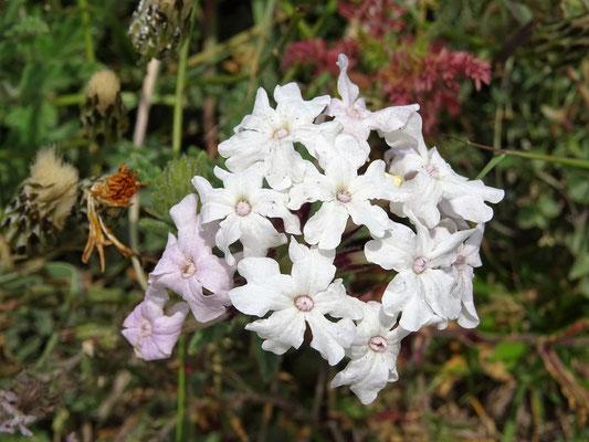 Verbena blanca