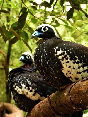 Die vom Aussterben bedrohten Jacutingas