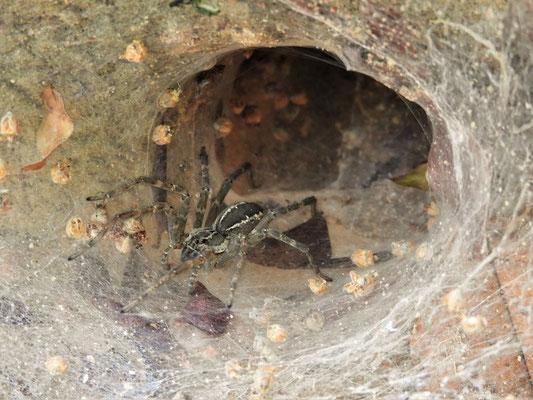 Spinne in ihrem Trichter-Netz