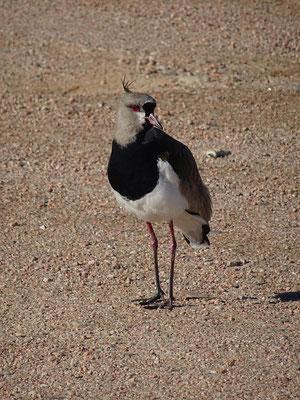 Tero - Uruguays Nationalvogel