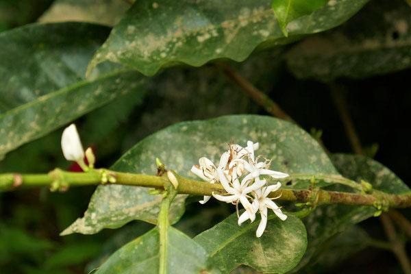 Kaffee-Blüte