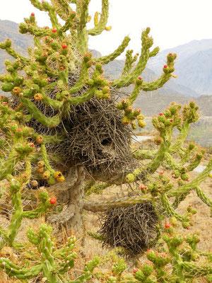 Vogelnester im Kaktus