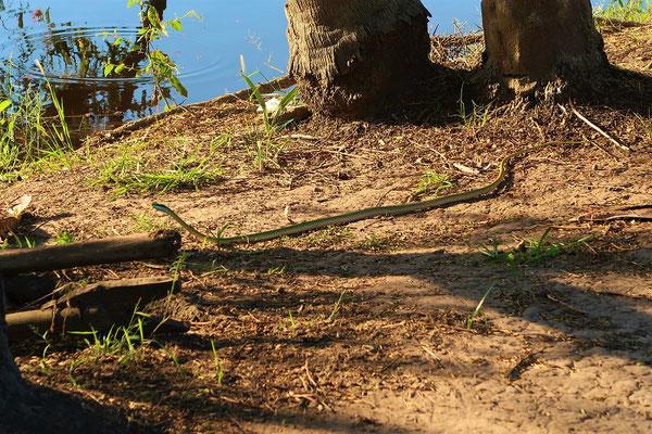 Baumschlange auf dem Weg nach Hause ;o))