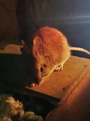 Ratón Olivaceo (Maus) - lebt in der Wüste im Norden Chiles oder auf Feuerland