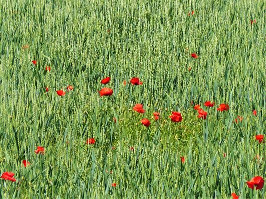 Getreidefeld mit Mohnblumen