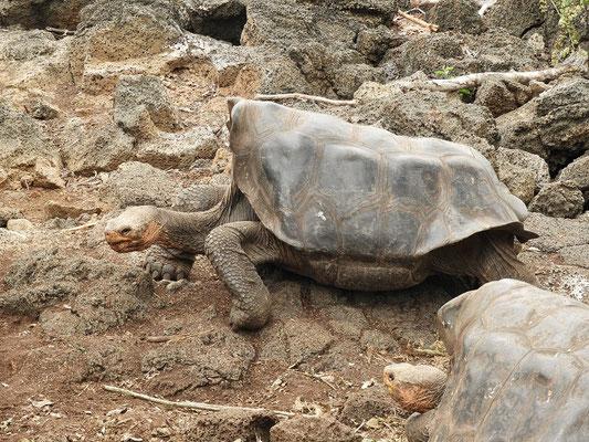Galapagos-Schildkröte - erkennbar am sattel-förmigen Panzer