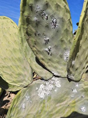 Kaktus mit den weissen Cochinillas
