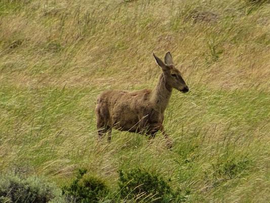 Huemul - Hirschart nur in Patagonien heimisch