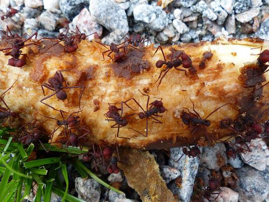 Auch die 1cm grossen Ameisen haben Hunger
