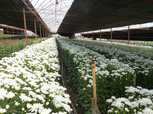 Chrysanthemen-Zucht
