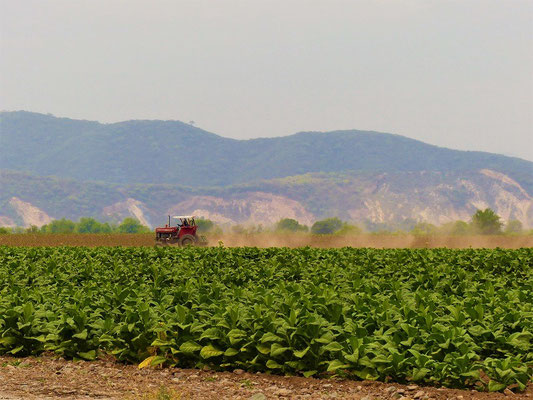 Hier wird Tabak angepflanzt