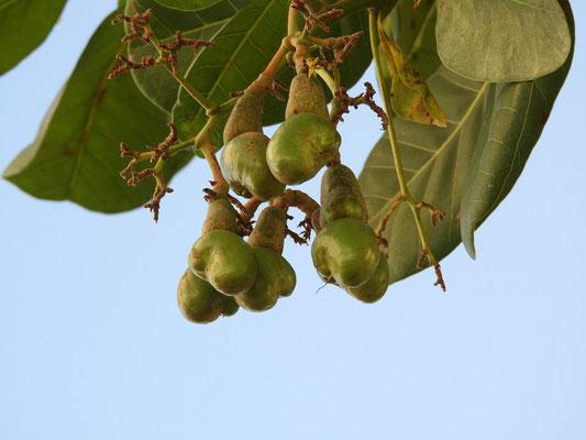 Die unreife Frucht