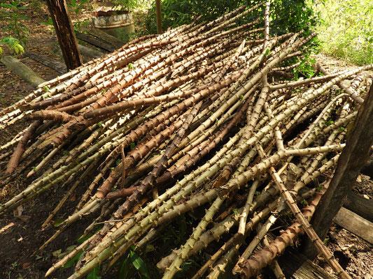 Maniok-Pflanzenstengel werden in 30cm Stücke geschnitten, eingepflanzt und in drei Monaten kann man ernten