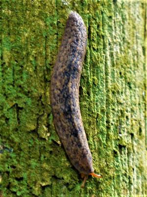 Brasilianische Waldschnecke