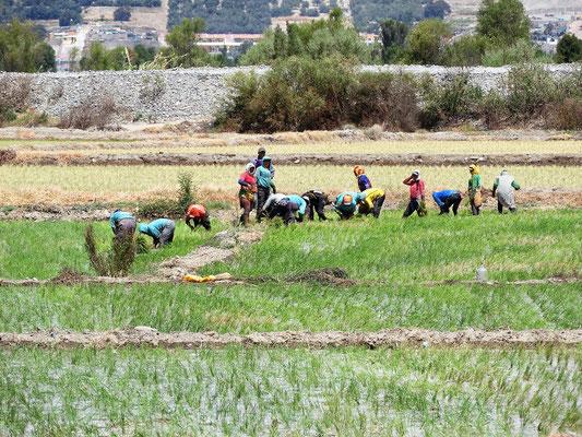 Hier wird Reis angbaut