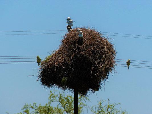 Papageien-Kolonie und ihr Nest