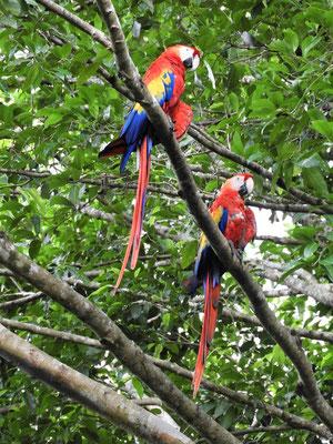 Auch viele der heiligen Vögel der Maya - Macaw - leben hier