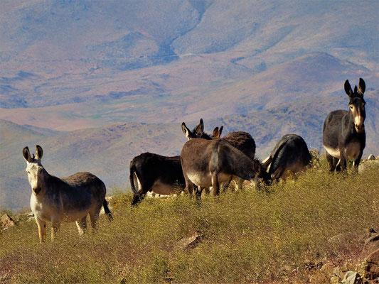 Wilde Esel im riesigen Gelände des Observatoriums