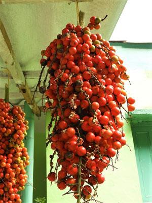 Corozo- oder Steinnuss - Samen der Steinnusspalme. Die bis zu 1cm kleine Nuss mit harter Schale schmeckt leicht nach Kokosnuss.
