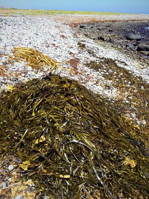 Die aussortierten Algen bereit zum Weiterverkauf....