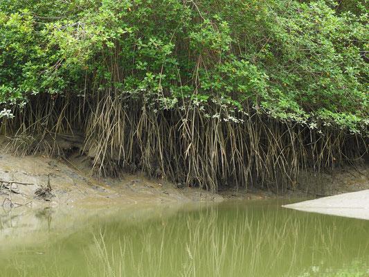 Die Mangroven warten auf das zurückkehrende Wasser....