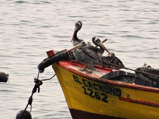 Pelikane bei der Siesta