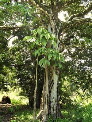 Matapalo/Würgefeige - der Stamm des  Wirtsbaumes wird durch das enge Geflecht der Feige mit der Zeit stranguliert und stirbt ab