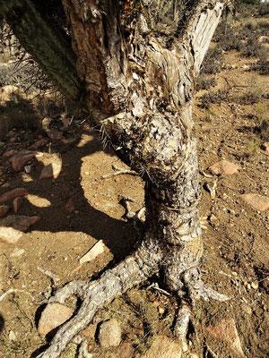 Der Stamm eines Kaktus-Baum