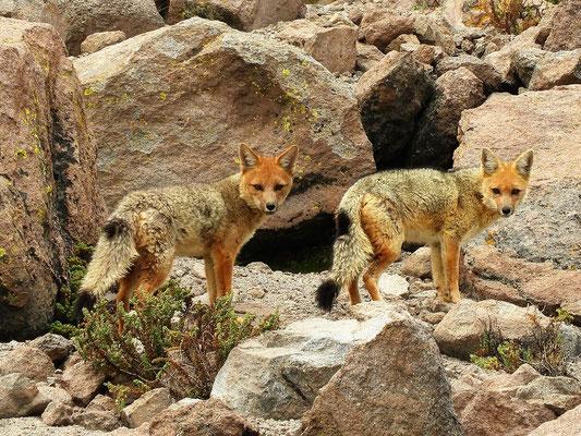 ....und auch die Familie Fuchs hat Hunger und besucht uns im Basislager