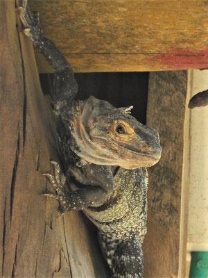 Iguana....