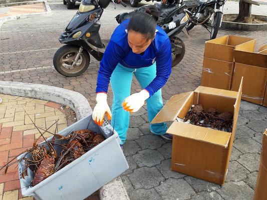 ....Schachtel über Schachtel werden die Lobster für den  Abflug auf's Festland verpackt