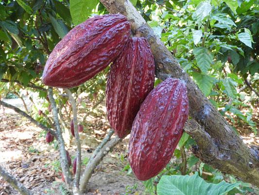 Kakao-Sorte 'Trinitarian'