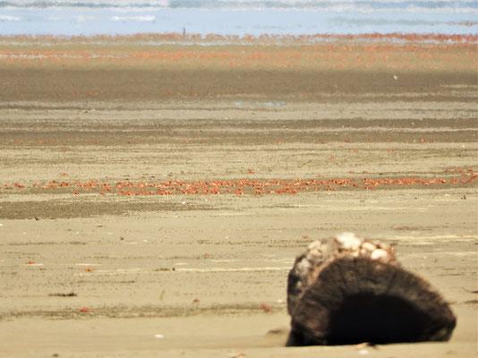 In riesigen Scharen sieben sie die oberste Sandschicht auf der Suche nach organischer Nahrung....