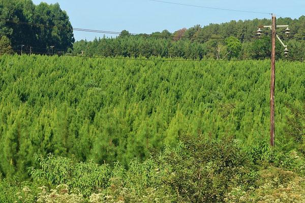 Föhrenpflanzung