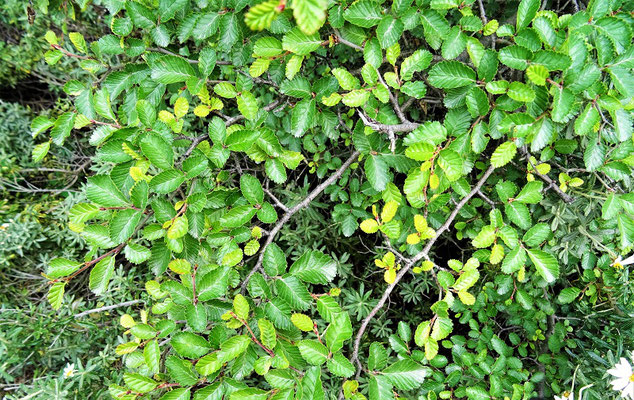 Die kleinen Blätter von Ñire und Lenga, die sich im Herbst verfärben und abfallen