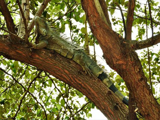 Ein  1.5m langes Prachtstück auf einem Baum bei der Plaza