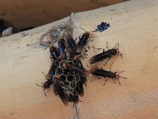 Angriffslustige Hornissen am Nestbau