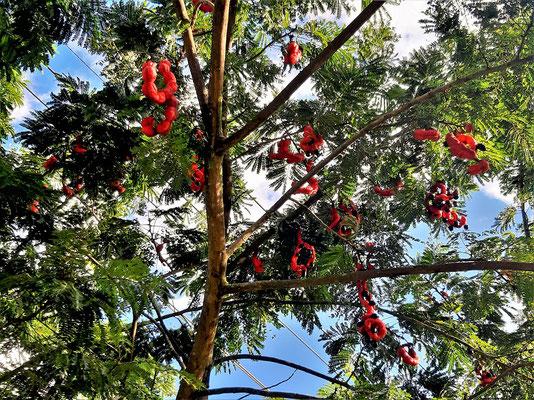 Cojoba arborea - mit roten Bohnen und schwarz-glänzenden Samen