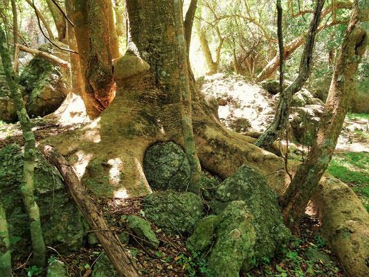 Ombú Baum - Elefantenbaum