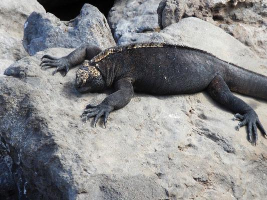 Meeres-Leguan beim Aufwärmen an der Sonne