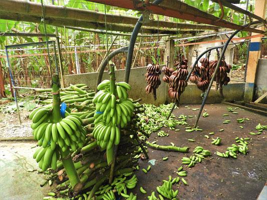 Grüne und rote Baby-Bananen werden hier verarbeitet