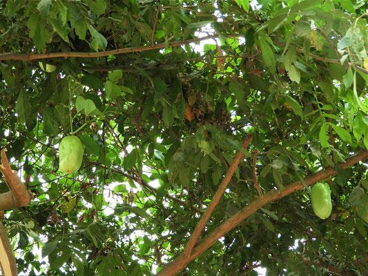 Badea - Die grösste aus der Familie der Passionsfrüchte
